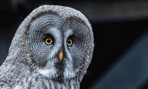 Burung Hantu punya DNA Khusus untuk Berburu di Malam Hari