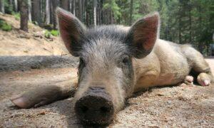"""""""Babi Ngepet"""" dan Bagaimana Kecemburuan Sosial Menggerakkan Mitos"""